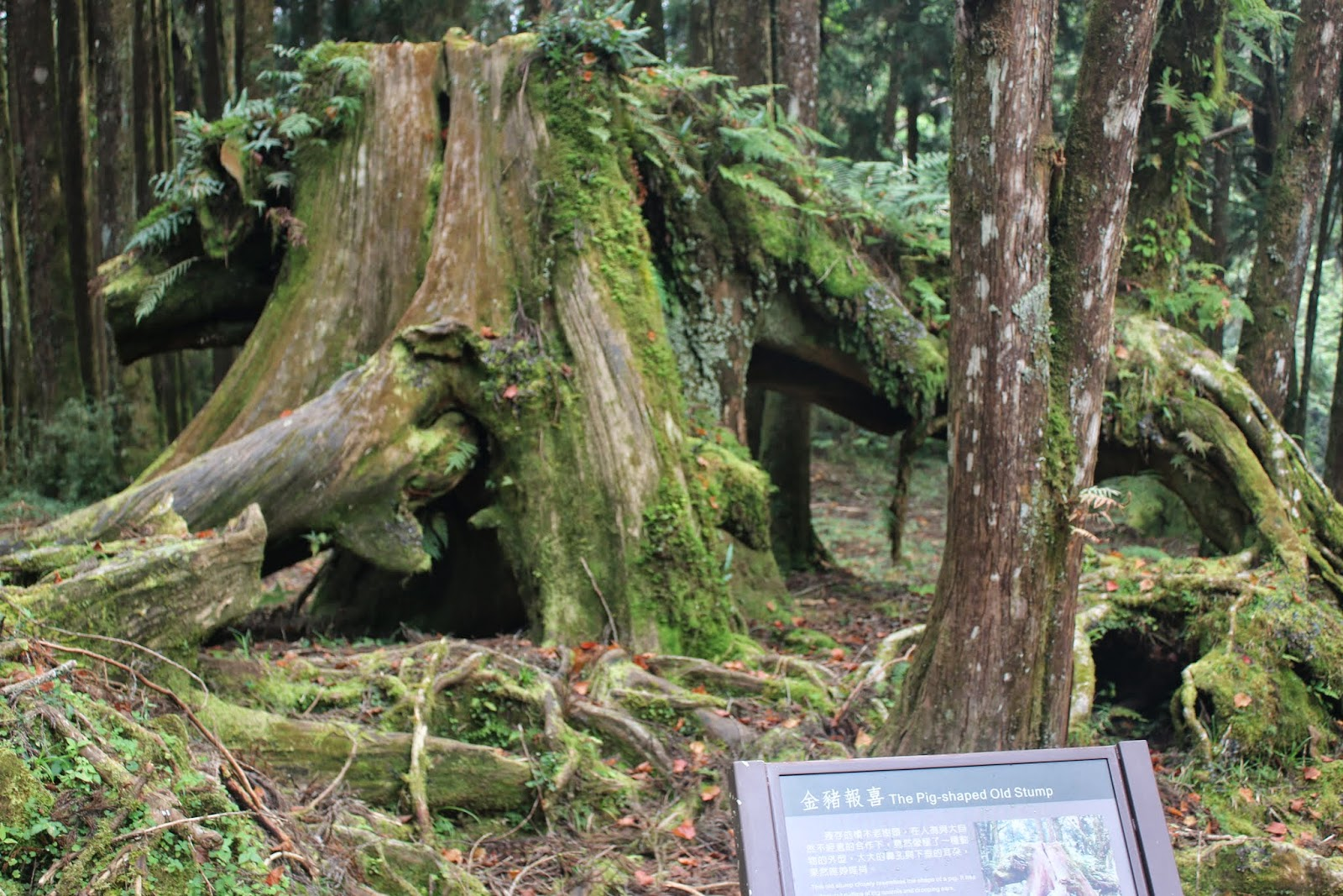 Pig shaped Old Stump at Alishan Sacred Tree in Chiayi County of Taiwan