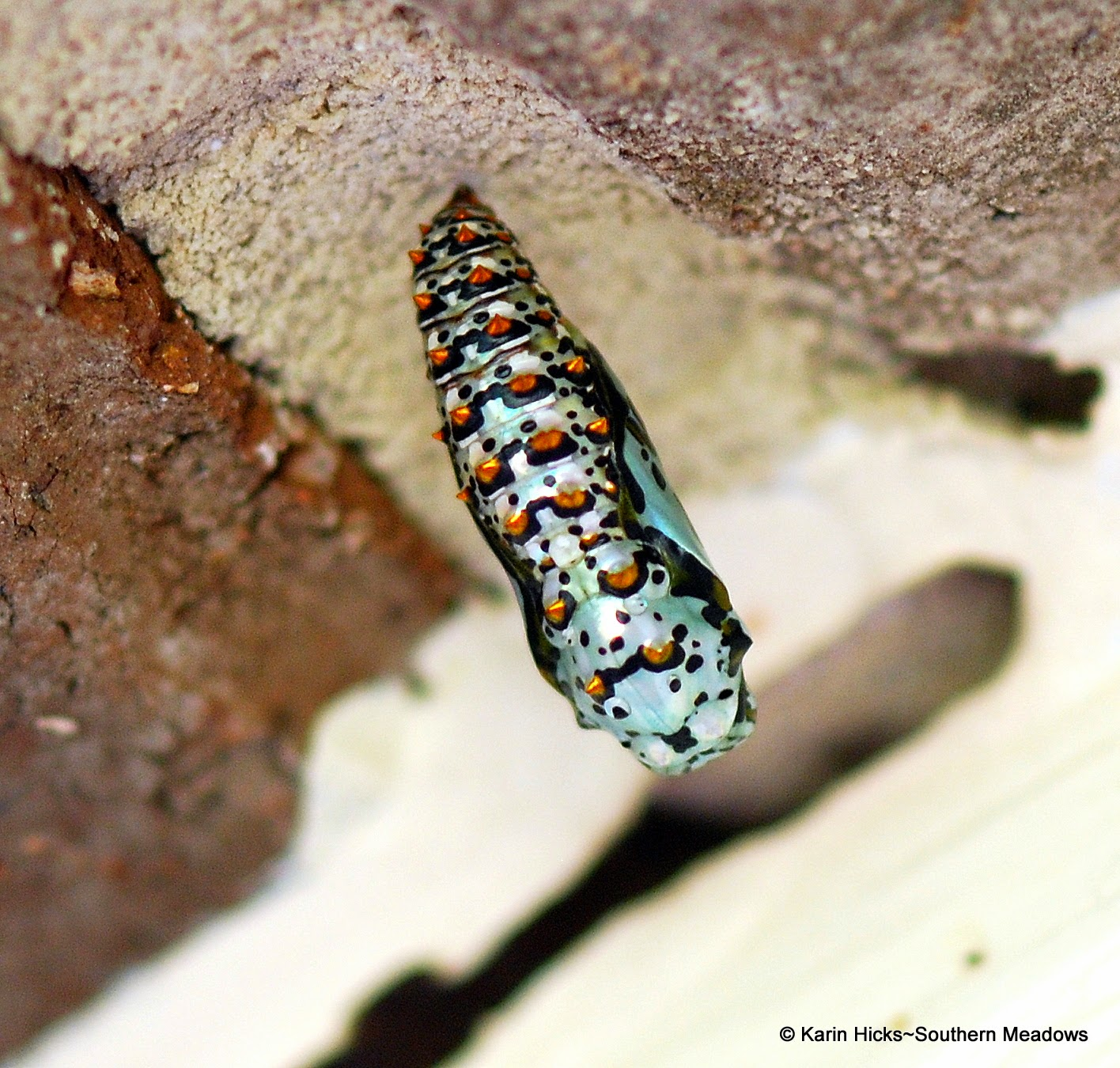 variegated fritilllary chrysalis