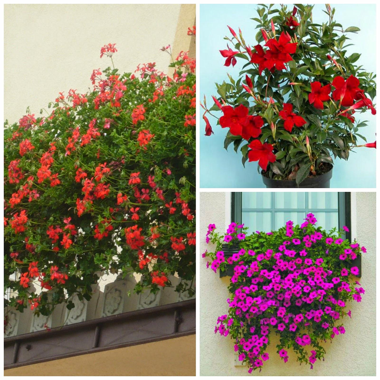 Moj Dom Moja Pasja Kwiaty Balkonowe