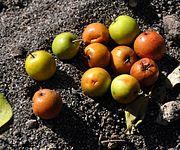 buah masak bidara
