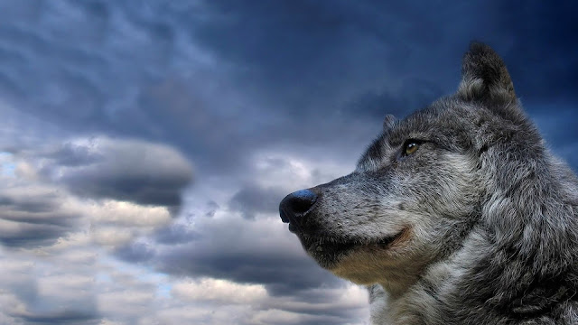 Amazing Wolf And Blue Sky HD Wallpaper