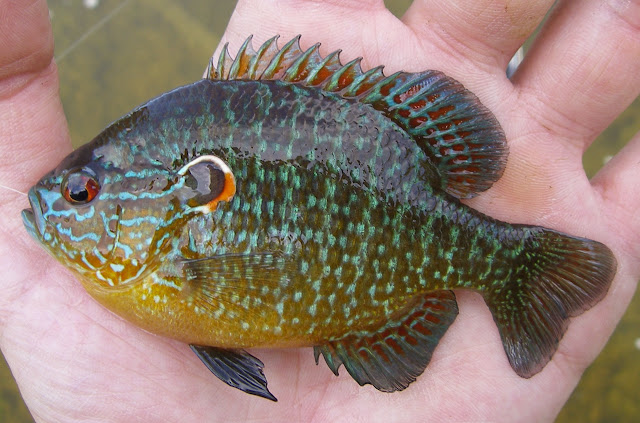 how to catch redear sunfish
