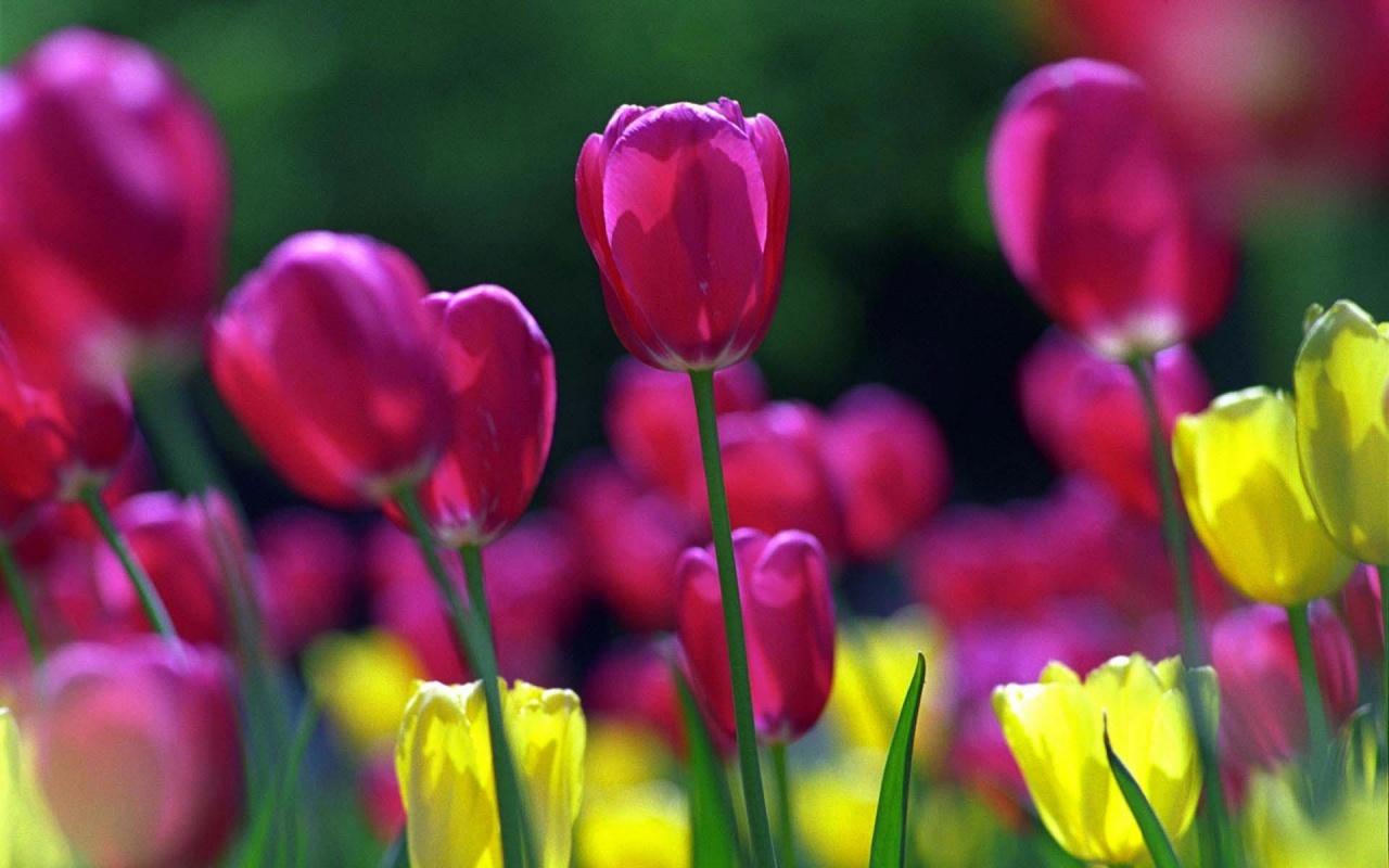 http://4.bp.blogspot.com/-xzATShQl4Kg/TVSwMDF1_xI/AAAAAAAAAUw/XnLwqvv1pzg/s1600/spring-tulips-wallpapers_2319_1280x800.jpg