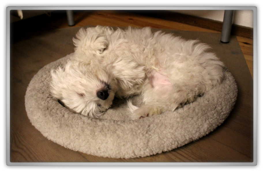 jofee jonathan saccone joly maltese dog puppy 14 weeks old cute adorable playing marjolein kucmer sleeping