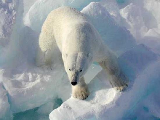 Beruang Kutub Hewan Paling Berbahaya Di Dunia