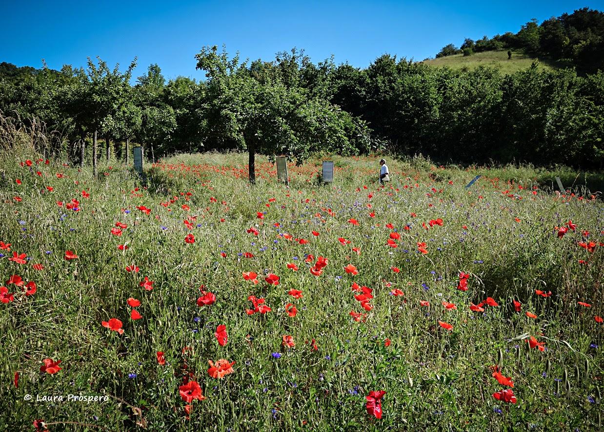 champ de coquelicots, Giverny 2014 © Laura Prospero
