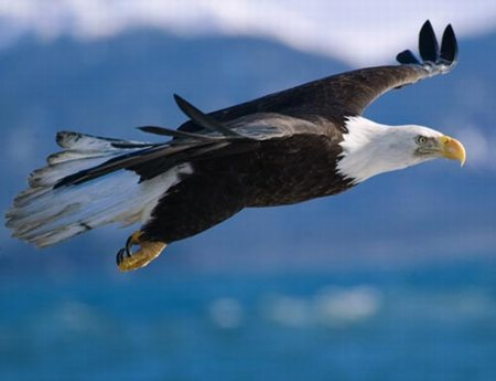 the bald eagle very distinguishable the golden eagle is the only other ...