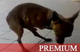 Bizarro Cachorro Batendo Punheta