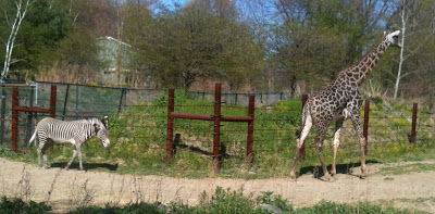 Zebra following giraffe around enclosure in zoo