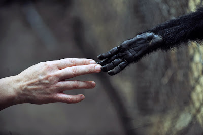 Animal, Women, Monkey, Spider monkey, Cage,  Rehabilitation Center, Primate Rescue, Penaflor, Southwest, Santiago, Chile, Human, Rescue, Shake hand,