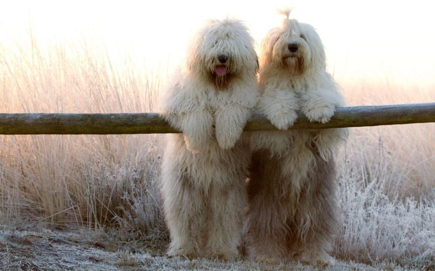 Лохматые собаки