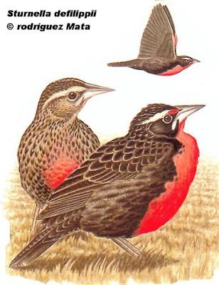 argentinian endangered birds Loica pampeana Sturnella defilippii
