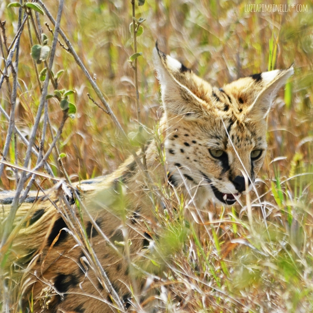 luzia pimpinella | travel tansania | safari in der serengeti - serval katze