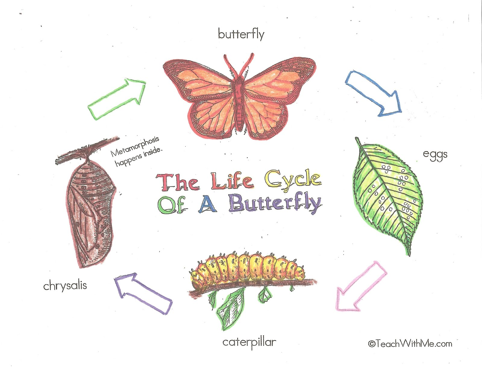 charts help students review learn the life cycle of the butterfly Butterfly Life Cycle