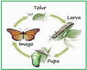 gambar 4 metamorfosis sempurna