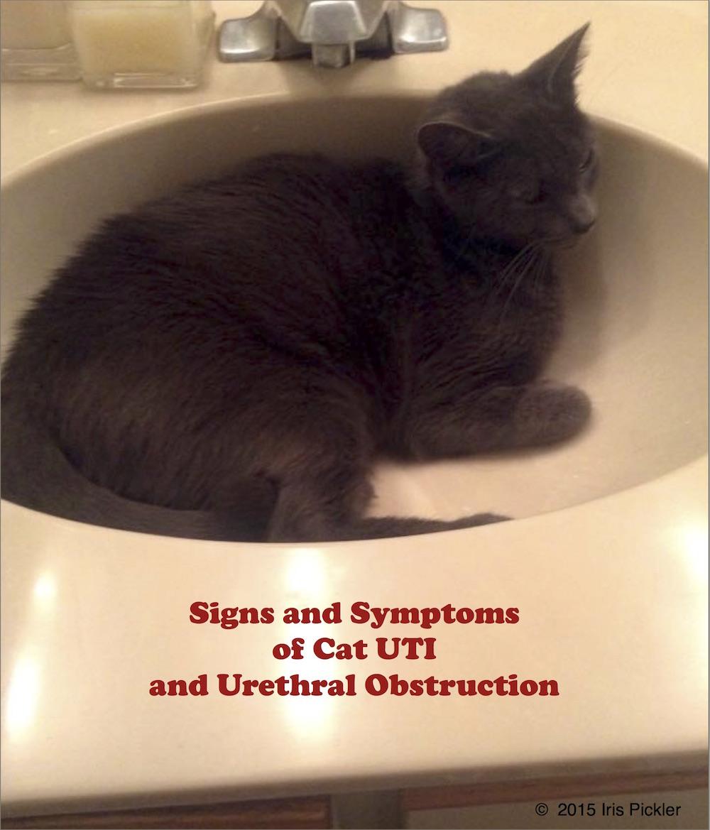 crystals in cat urine symptoms