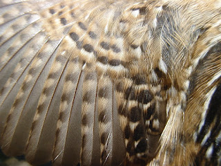 [Feathers of a Sedge Wren]