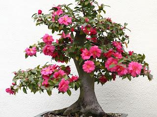 020762 bonsai