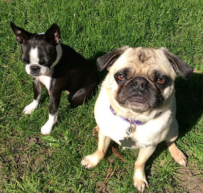 pug and Boston terrier on the grass