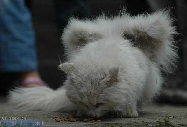 gambar kucing bersayap china