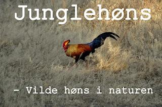 http://kolonihavelivet.blogspot.dk/2015/11/junglehnengallus-lafayettii-vilde-hns-i.html