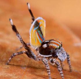 """""""عناكب الطاووس"""" أجمل عناكب العالم 2.jpg"""