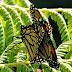 Meu pequeno borboletário