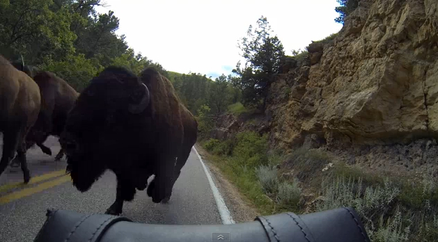 Buffalo Stampede at Custer State Park (Video)