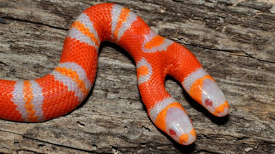 Two Headed Albino Milk Snake