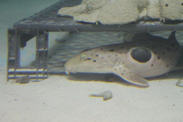 epaulette shark tank - photo #4