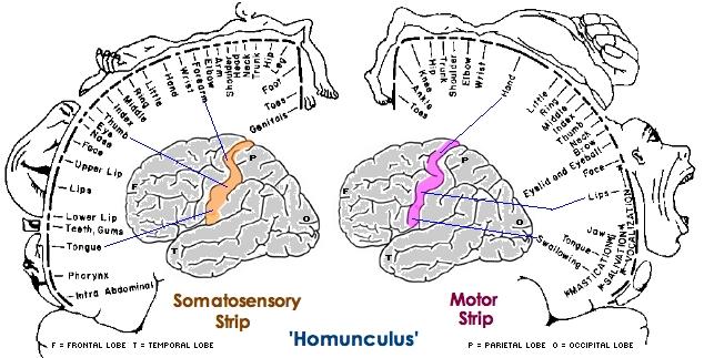 「ホムンクルス」は、ラテン語で「小人」という意味らしいですが、人間の脳... Patagonia