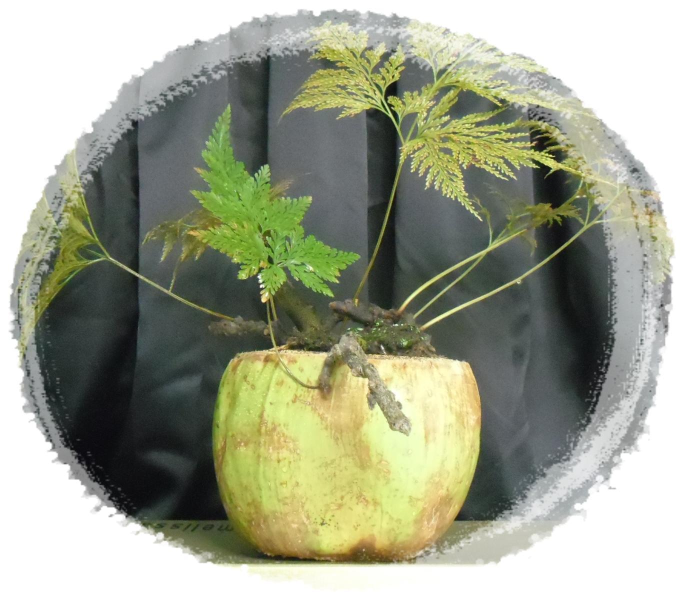 Renda Portuguesa, terminando o inverno realizando o replante!