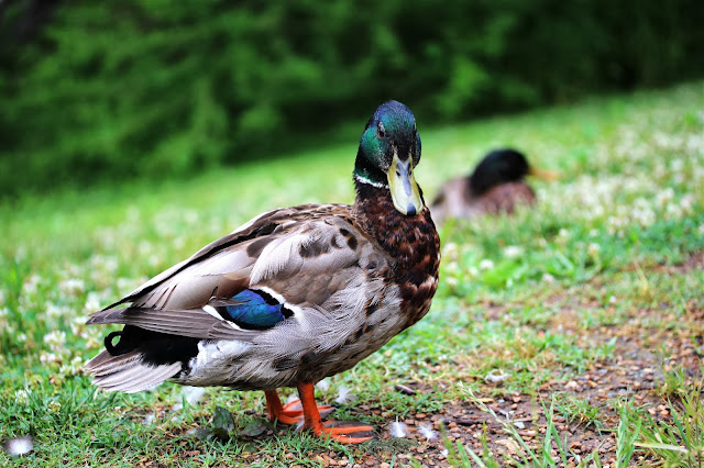 Male Common Mallard ~ Photo by ChatterBlossom #mallard #duck #photography