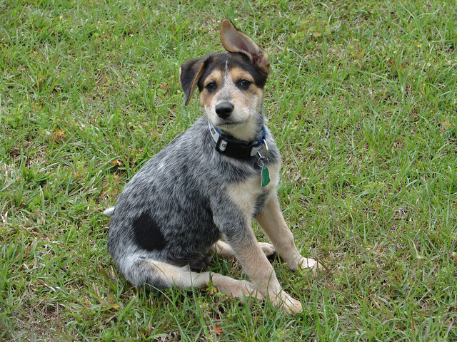 All List Of Different Dogs Breeds: Blue Heeler Puppy Pictures