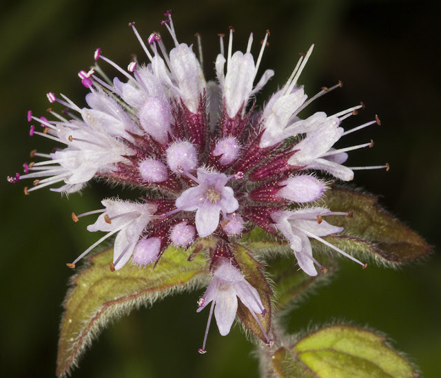 Water Mint, Mentha aquatica.  Keston Common, 15 September 2012.
