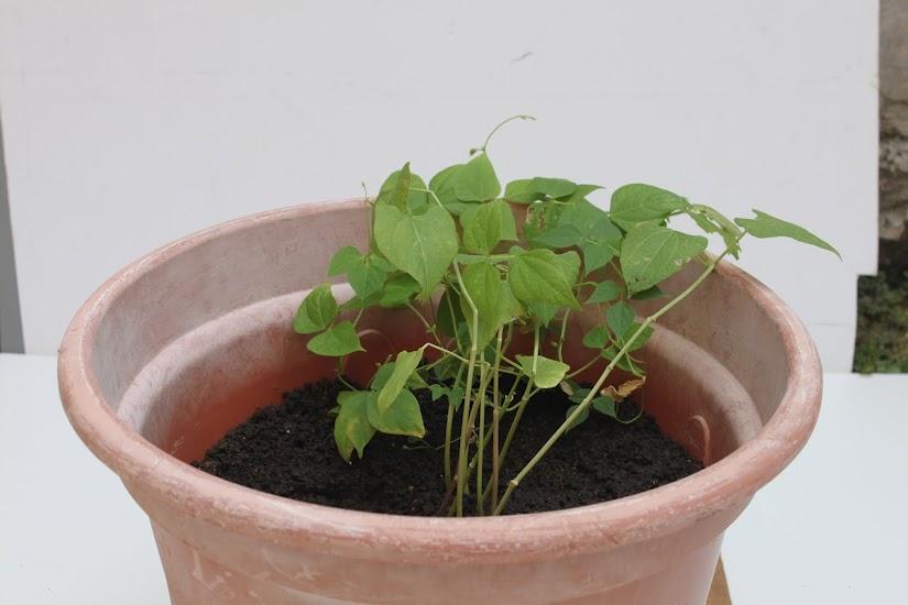 Sembrar una planta en maceta casa dise o - Hierba luisa en maceta ...