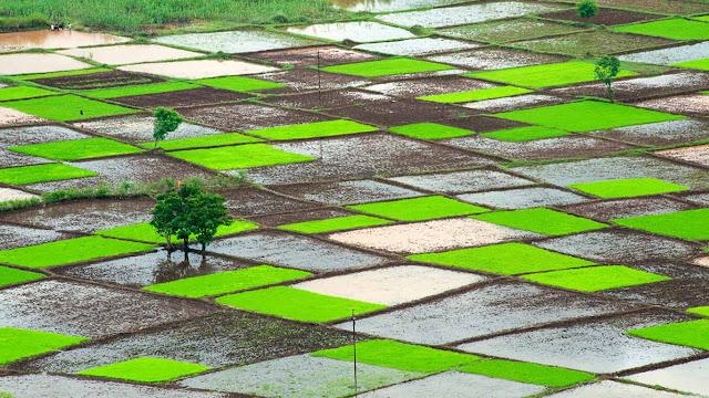 Rice field during monsoon, Chiplun, Ratnagiri, Maharashtra, India (© Dinodia Photo/age fotostock)