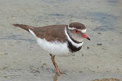 Daily rare bird news from Israel