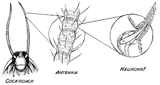 Roboroach antenna neurons