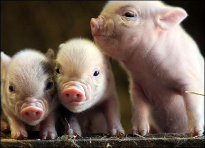 That hapa chick kawaii monday pocket pigs cutest pets evar d i want one so bad but theyre like thousands of dollars yep not all that affordable why do the cutest most wonderfullest voltagebd Choice Image