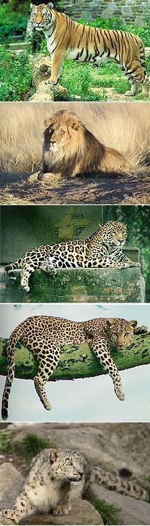 Il colore della pantera lateat