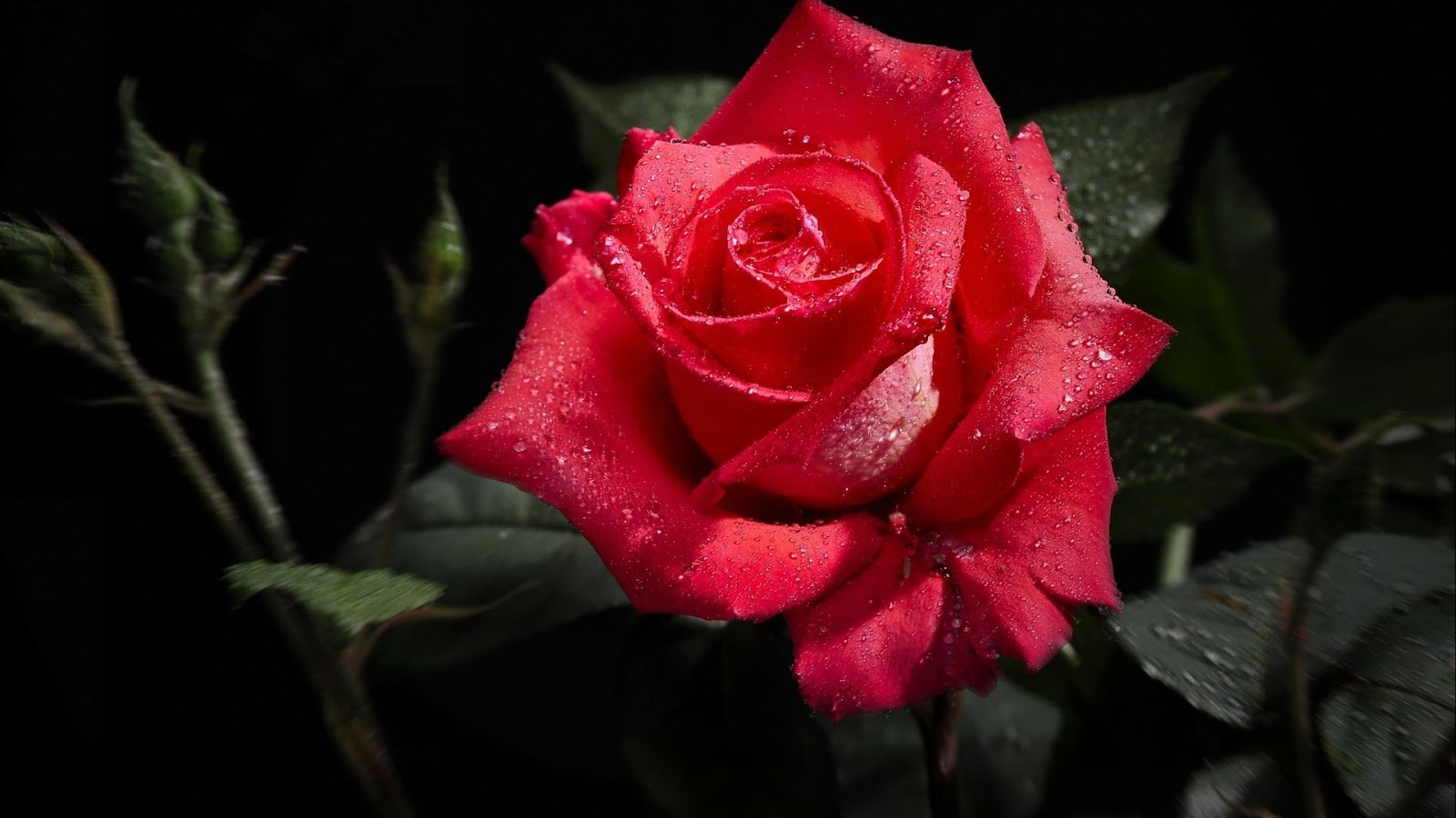 Rose Flower Images Download