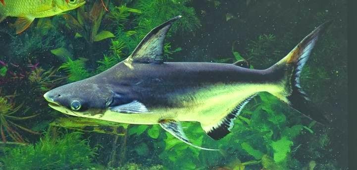 Pangasius Köpekbalığı