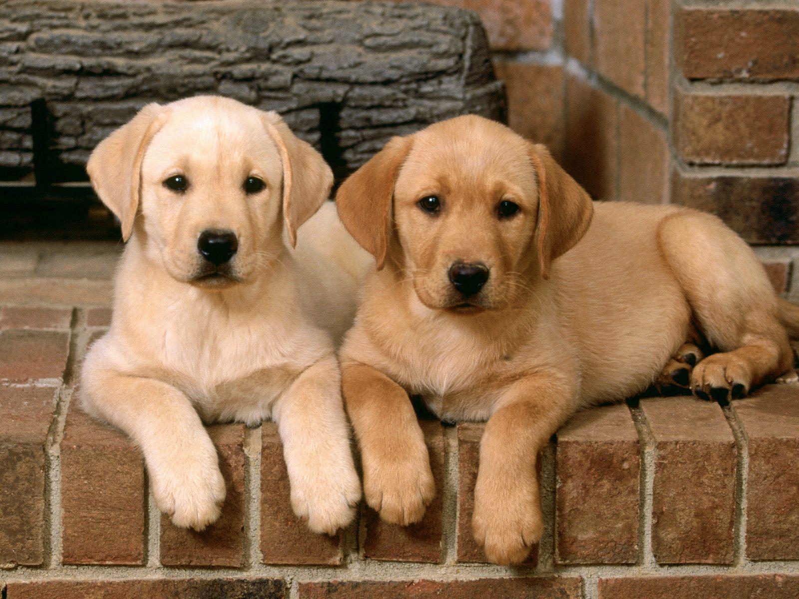http://4.bp.blogspot.com/-y3E6aN5JVlU/UHE6aIzaxDI/AAAAAAAAG7c/fLn1dmmUK2o/s1600/Double-Trouble-Labrador-Retrievers.jpg