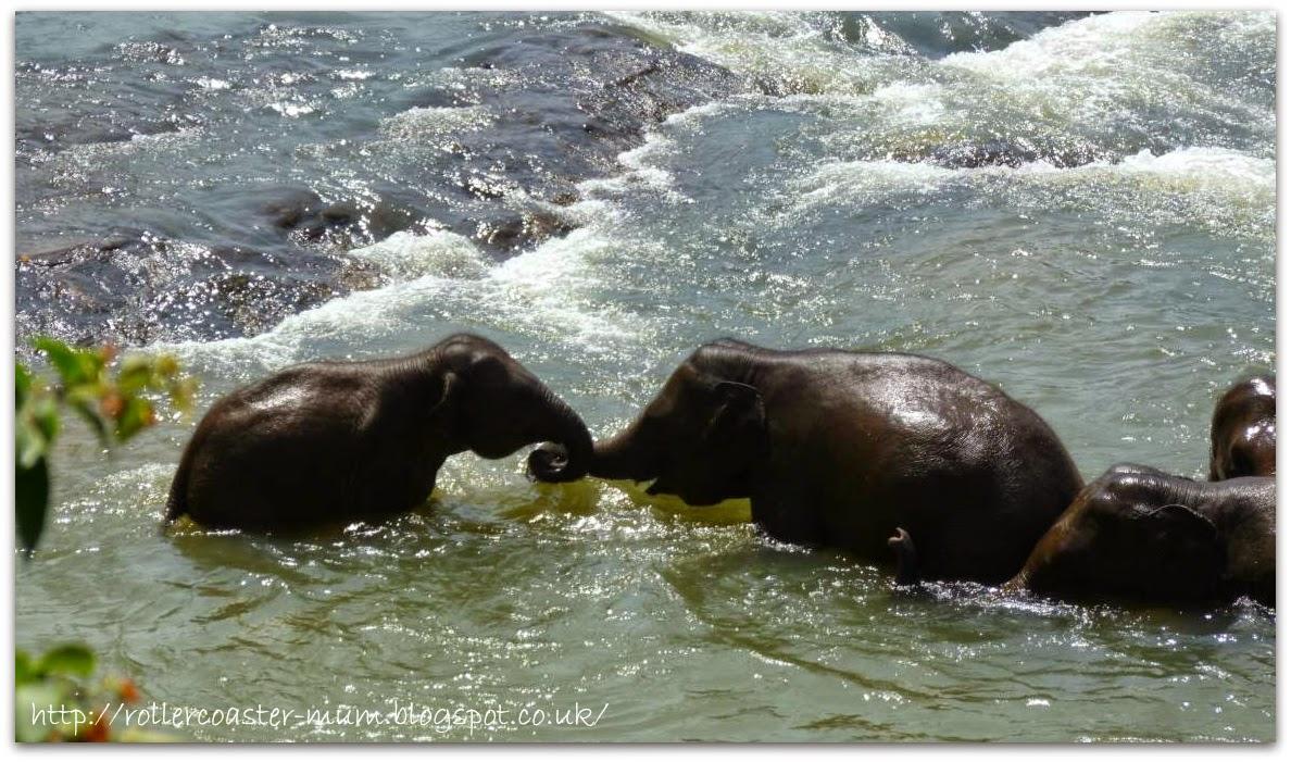 baby elephants bathing, Pinnawala Elephant Orphanage, Sri Lanka