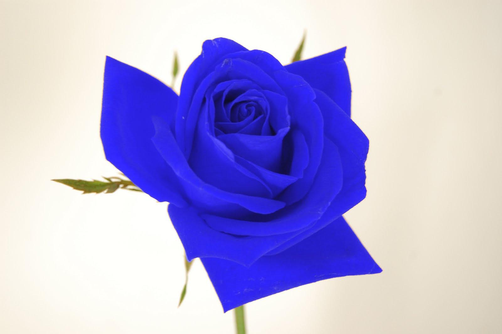 Rosa flor azul