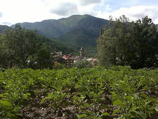 """Plantació """"trumfes"""" de Porté-Estop a Vilaller."""