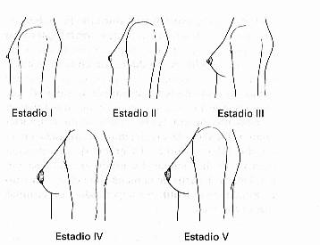 Signos del desarrollo del busto Muy Fitness