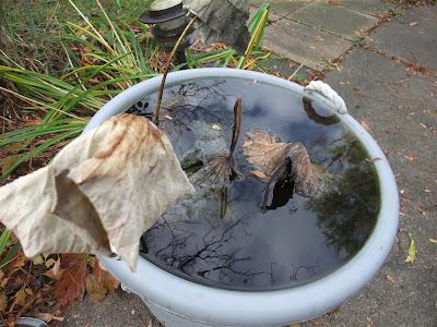 dormant lotus plant