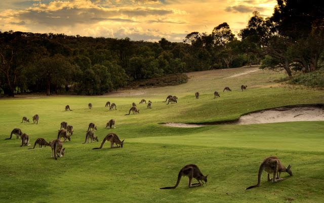 Kangaroos - Australia.